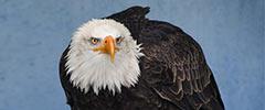 American bald eagle looking majestic