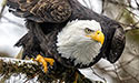American bald eagle on the branch of a tree